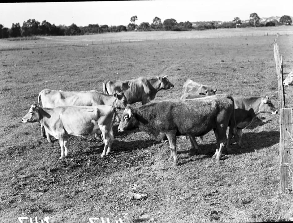 Cattle in Graceville 1952
